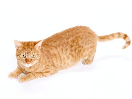 Як робити внутрішньом'язові вколи кішці