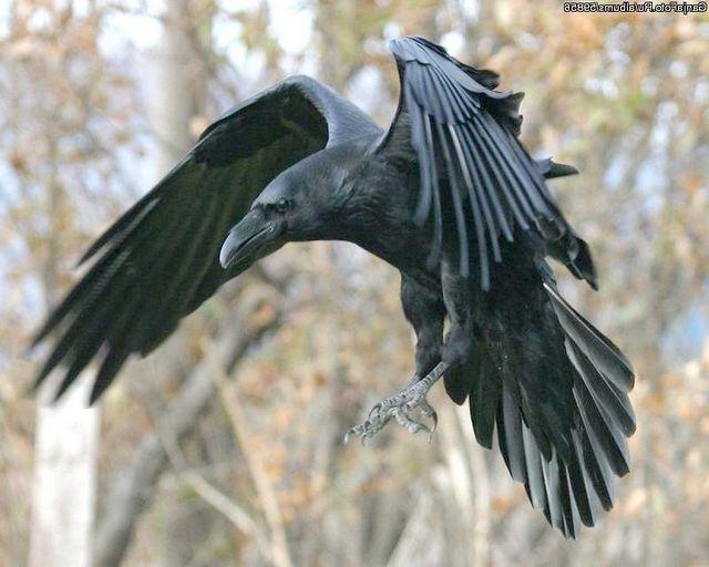 Красень-ворон розумний і зазвичай самотній