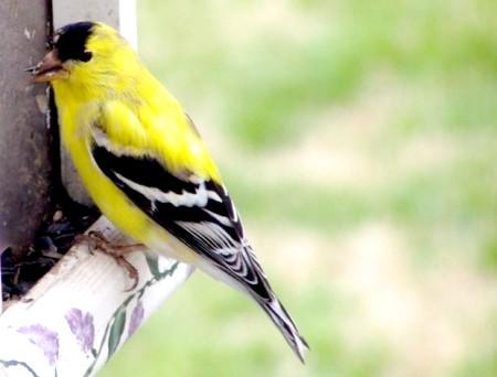 як спіймати птаха щигля