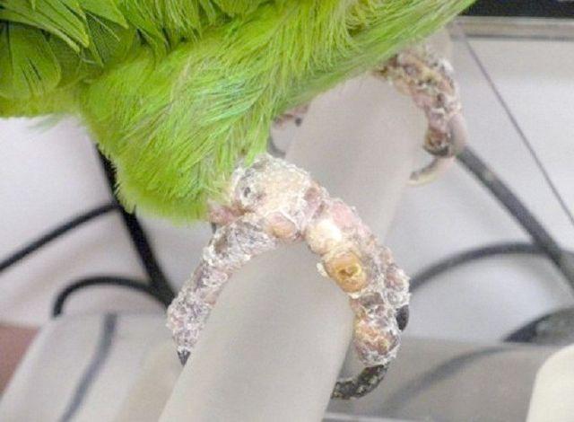 як зчистити шкірку від кліщів у папуг