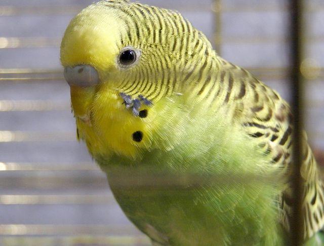 самому зробити клітку для папуги