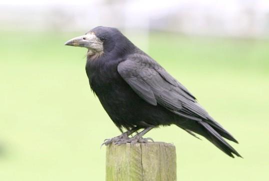 Ворон - дуже розумна і цікава птиця