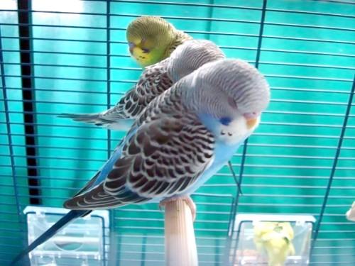 волнністіе попугачікі як заними ухжівать