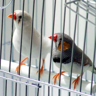 Як зробити клітку для птахів