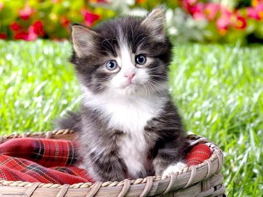 Як вивести бліх у Кошенята